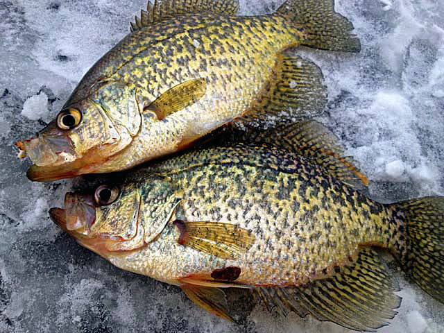 Crappies caught on Mille Lacs Lake ice fishing